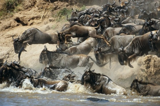 The herd of wildebeests plunge into the river. If just one wildebeest decides to turn around, it can cause a bottleneck that leads many to drown; Image Source: Beaverline Safaris